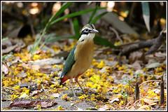 8417 - Indian pitta (chandrasekaran a 59 lakhs views Thanks to all.) Tags: indianpitta birds nature india chennai canon60d tamron200500mm