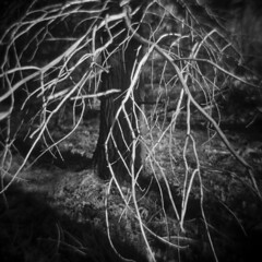 Silver Lake in Winter #41 (LowerDarnley) Tags: holga silverlake winter tree bare branches tangle saugus ma woods breakheartreservation