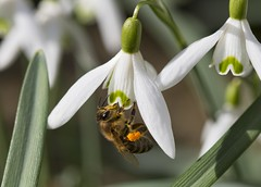 Happy bee (Chickpeasrule) Tags: bee honey snowdrop macro insect bug pollen galanthusnivalis flower