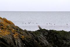 Heron on the rocks (Louise-Kelly) Tags: heron rocks sea beach ireland wildlife wild nature birds coast