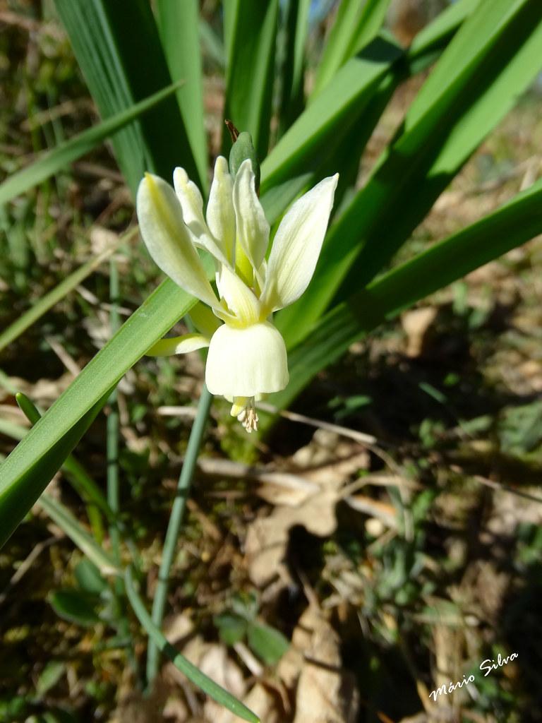 """Águas Frias (Chaves) - ... flor campestre - """"pinchéis"""" ..."""" ..."""
