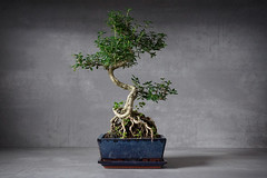 Bonsai II (janine.jurleit) Tags: bonsai tree baum stillleben still life roots wurzeln