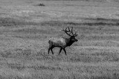 B-3216 (markbyzewski) Tags: blackandwhite elk bird magpie landscape rockymountainnationalpark estespark colorado