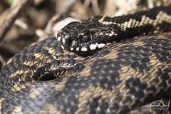 Adder Close Up (AndyNeal) Tags: animal wildlife nature reptile snake adder essex essexwildlifetrust ewt fingringhoewick naturereserve