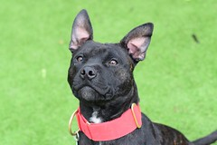 Sid (4) (AlmostHome_Dog) Tags: almost home dog rescue north wales staffie sbt staffordshire bull terrier