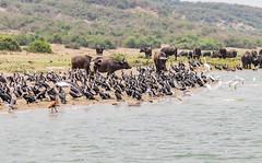 10b-birds-2375 (h.redpoll) Tags: birds kazingachannel africanbuffalo boatride queenelizabethnationalpark uganda