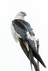 Swallow-Tailed Kite (Ed Sivon) Tags: america canon nature wildlife wild western southwest flickr bird galveston texas