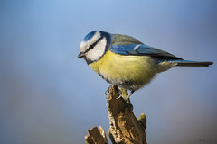 Modraszka/Blue tit/Cyanistes caeruleus #3 (mirosławkról) Tags: wildlife animal bird nature nikonnaturephotography 150600 wild tit blue cyanistes caeruleus silesia winter sky