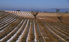 Snow and lavenders (dubus regis) Tags: snow lavender winter lavandes neige hiver