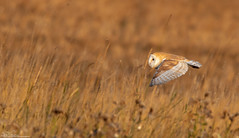 Barn Owl (Steve (Hooky) Waddingham) Tags: animal amble planet coast countryside bird british nature northumberland flight wild wildlife
