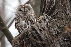 Tawny Owl - Waldkauz (rengawfalo) Tags: owl brownowl tawnyowl strixaluco eule vogel bird animal wildlife nature natur kauz vögel waldkauz tree birder birding outdoor wood forest sky