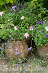 Container planting (Alan Buckingham) Tags: containers cosmosbipinnatuspurity garden phlox21stcenturyblue pink pots rosaqueenmother rose terracotta waldrondowncottage