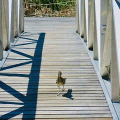 Big Bend National Park (throgers) Tags: bigbend bigbendnationalpark bird brewstercounty nationalpark nationalparkservice nps riograndevillage texas westtexas