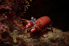 Peacock mantis shrimp (kyshokada) Tags: peacockmantisshrimp mantisshrimp shrimps fiji animalplanet scuba sony diving pacific underwater mamanucaislands mamanuca reef