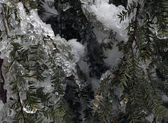 Arbre scintillant/Sparkling tree (bd168) Tags: ice glace freezingrain verglas arbre tree needles aiguilles leaves feuilles vert green sparkle scintille icestorm tempêtedeverglas em10markii m1240mmf28pro avril april