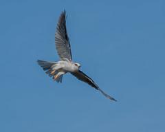White-tailed Kite #104 (lennycarl08) Tags: whitetailedkite raptor birdofprey herculesca eastbay birds