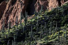 Sonoran Desert: Verdant After Winter Rains (jswensen2012) Tags: arizona cactus saguarocactus desert sonorandesert superstitionwilderness superstitionmountains springtime