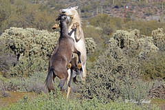 Stand up for your neighbor (littlebiddle) Tags: arizona tontonationalforest coonbluff desert