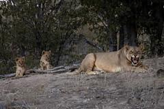 Palmwag (FrancescaBullet) Tags: lion cuccioli natura nature animali animal wild safari namibia anger rabbia puppies wildlife lioness