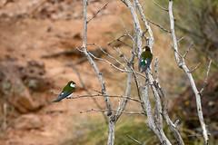 Violet-green Swallow (phoca2004) Tags: violetgreenswallow peñablancalake z6 nikon birds santacruzcounty arizona tachycinetathalassina birding
