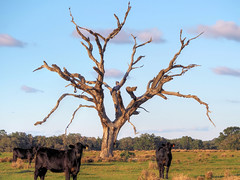 Cows and Tree on Bayhead Road (joiseyshowaa) Tags: fl fla farm field barn cow bovine tree dead branches sky active animal