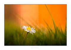 Gänseblümchen (Marcus Hellwig) Tags: lichtstimmung gänseblümchen blüte blume orange grün green makro macro detail flower fleur pflanze gras canoneos70d canonef100mmf28lmacroisusm