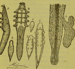 This image is taken from Page 167 of Les acariens parasites [electronic resource] (Medical Heritage Library, Inc.) Tags: acari arachnid vectors wellcomelibrary ukmhl medicalheritagelibrary europeanlibraries date1892 idb20406186