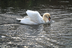 FIGHTING SWANS [ ROYAL CANAL BETWEEN BROOMBRIDGE AND ASHTOWN]-148334 (infomatique) Tags: birds swans fight wildlife nature water canal royalcanal canalwalk sony a7riii batis zeiss 135mmlens williammurphy infomatique fotonique ireland