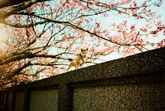The Dreaming Dog (kowei) Tags: sakura shiba shibainu 柴犬 陽明山 analog film filmcamera 35mm kodak dog puppy flowers pink dreamy