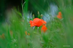 Coquelicot (jpto_55) Tags: fleur bokeh coquelicot xe1 fuji fujifilm fujixf55200mmf3548rlmois aude france