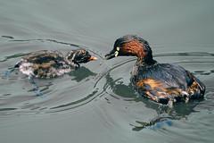 _DSC0618-Edit (shoji imamura) Tags: japan tokyo spring bird pond machida yakushiike grebe parent child 薬師池 薬師池公園 親子 カイツブリ 野鳥 東京 町田 多摩 春