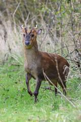 Muntjac spots me (Rivertay07 - thanks for over 5 million views) Tags: muntjacdeeer deer barkingdeer mastreanideer muntiacusreevesi horns richardstead rivertay copyrightprotected