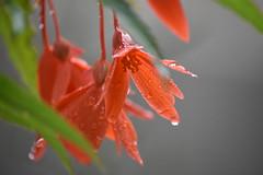 Begonia boliviensis (esta_ahi) Tags: begonia boliviensis begoniaboliviensis begoniaceae flor flora flores cultivadas gotas lluvia rain drops