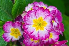 Spring - HSS! (JSB PHOTOGRAPHS) Tags: jsb8242 sliderssunday hss nikon d800 mamiya sekor 645 format macro lens 80mm f4
