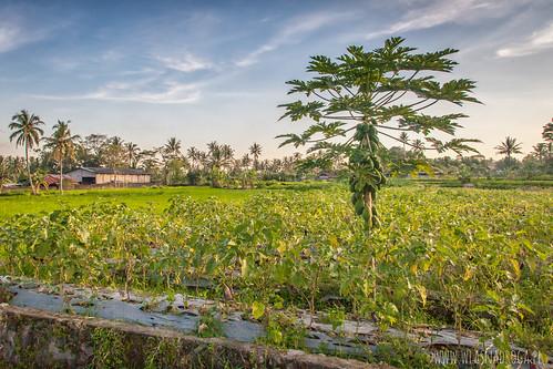 Lokalna plantacja