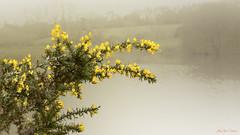 Brouillard d'Automne (papoune85) Tags: genêts automne brouillard lac jaune broom autumn fog lake yellow