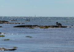 Swans at the beach (Marian Pollock) Tags: swans silhouette beach bay melbourne brighton birds water sunshine australia