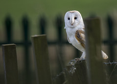 Barn owl #122 explore (alderson.yvonne) Tags: barn owl evening county durham yvonnealderson yvonne nikon d7200