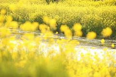 Riverside flower field (Teruhide Tomori) Tags: landscape japan japon nature evening light riverside rapeseedblossoms yogoriver 余呉川 菜の花 アブラナ 日本 滋賀県 湖北 kohoku 風景 自然 rape flower spring