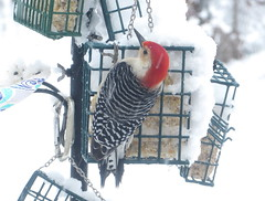 Red-bellied Woodpecker on a Snowy April 14, 2019 IMG_1849 (Ted_Roger_Karson) Tags: canonpowershotsx280hs northernillinois handheldcamera snow femalecardnial redbelliedwoodpecker backyardfriends backyardbirds birdfeeder canon powershot sx280 hs female cardnial male downy woodpecker hand held camera northern illinois backyard birds back yard friends full zoom telephotos bird feeder redbellied redwinged miniature compact pocket seed cake animals suet telephoto thisisexcellent twop test photo minicompact food