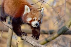 Abstieg (Ria Trouw) Tags: panda roter tierparkberlin berlin tierpark säugetiere tiere