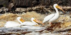 Fishin' Buddies III (Images by Beaulin) Tags: rapidriver wildlife birds pelecanuserythrorhynchos waterbirds clementson americanwhitepelican lakeofthewoodscounty minnesota