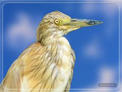 Ερωδιός - Κρυπτοτσικνιάς !!! (Spiros Tsoukias) Tags: hellas macedonia thessaloniki greece axiosdelta nationalpark flamingo ελλάδα μακεδονία θεσσαλονίκη καλοχώρι γαλλικόσ αξιόσ λουδίασ αλιάκμονασ εθνικόπάρκο δέλτααξιού υδρόβιαπτηνά φλαμίνγκο φοινικόπτερα ερωδιοί αργυροπελεκάνοι αργυροτσικνιάδεσ λευκοτσικνιάδεσ βαρβάρεσ γεράκια πάπιεσ φαλαρίδεσ κύκνοσ κύκνοι πελεκάνοσ κορμοράνοσ στρειδοφαγοσ κοκκινοσκέλησ σταχτοτσικνιάσ ποταμογλάρονα χουλιαρομύτα γλάροσ αβοκέτα καλαμοκανάσ λίμνεσ φύση ποτάμια θάλασσα βουνά πεδιάδεσ ηλιοβασίλεμα ανατολήηλίου πουλιά ζώα lakes nature rivers sea mountains plains sunset sunrise birds animals