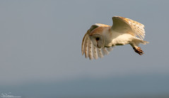 Summer Barn Owl (Steve (Hooky) Waddingham) Tags: stevenwaddinghamphotography animal planet countryside coast country bird british barn nature northumberland flight prey wild wildlife