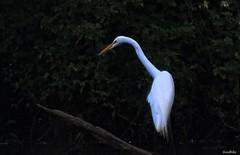 Elegant (goodhike) Tags: bird animal egret greategret heron freshwater tall long neck longneck feather white whtefeather whitefeathers feathers