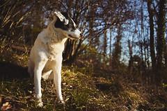 7/52 – Spring Is In The Air (stephubik) Tags: 52weeksfordogs buba k dog portrait spring