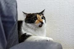 _DSC9646_DxO-Edit-1 (donnicky) Tags: cat home pet publicsec sofa лилу