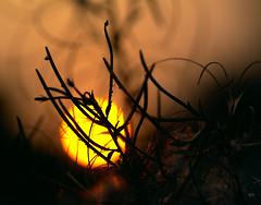 _DSC0260 (christophe_boron) Tags: soleil nature contrejour jaune orange ombre plante tige