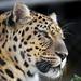 Close profile of an Amur leopard