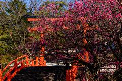DSC_0156 (ponkiti3) Tags: 下鴨神社 京都 梅 植物 風景